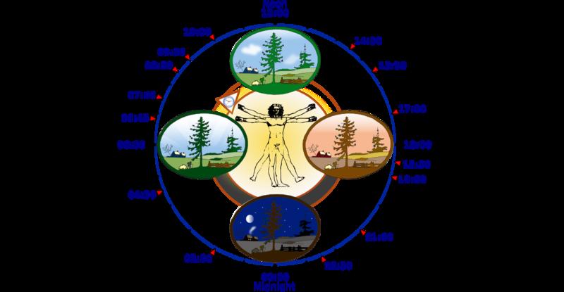 800px-Biological_clock_human